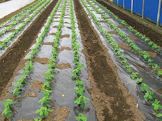 黒マルチ | 農ポリ・マルチ | 農業材 | 製品情報 | 住化積水フィルム ...
